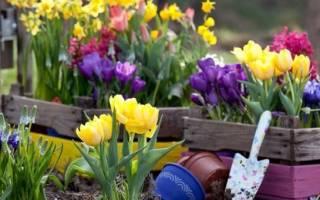 Можно сажать тюльпаны весной