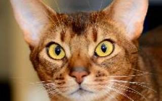 Абиссинская кошка здоровье