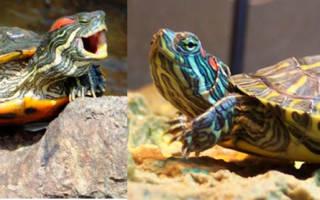 Черепаха красноухая не ест