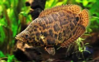 Рыба пятнистая как леопард