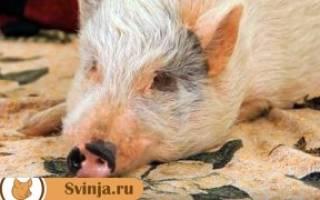 Почему свинья не ест