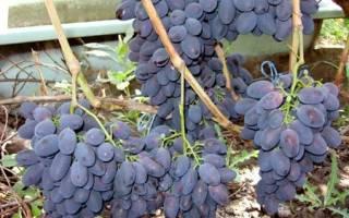 Черный виноград сорта