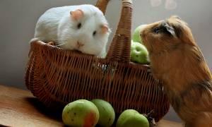 Можно ли морским свинкам яблоки?