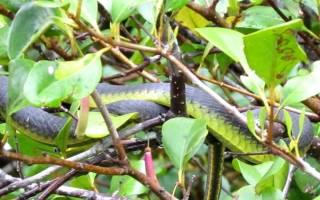 Ядовитая змея Австралии