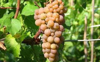 Виноград солярис описание