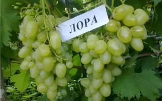 Сорта винограда лора