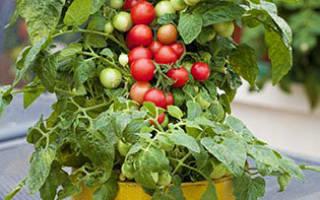 Ампельные сорта томатов
