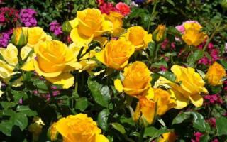 Розы керио фото описание