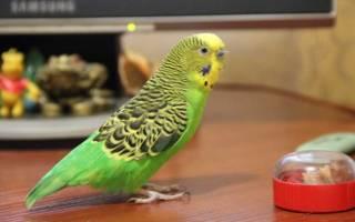 У попугая выпал хвост
