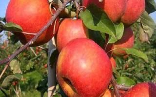 Яблоня рубин описание сорта