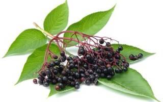 Плоды черной бузины