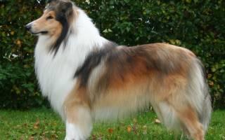 Порода собак похожая на колли