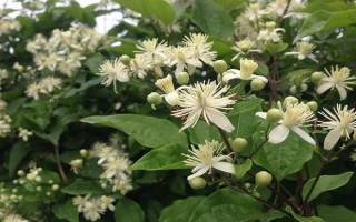 Клематис виноградолистный белый мелкоцветковый