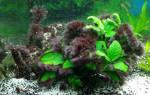 Вьетнамка в аквариуме