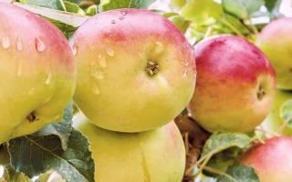 Яблоня чудное описание