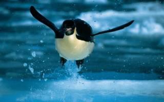 Летает ли пингвин