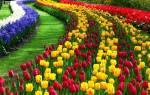 Удобрения для тюльпанов осенью