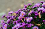 Цветы октябринки и сентябринки