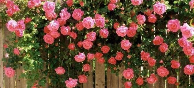 Розы когда пересаживать