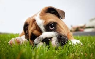 Амилаза у собаки повышена