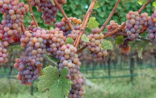 Траминер сорт винограда