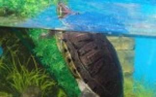 Черепахи для аквариума