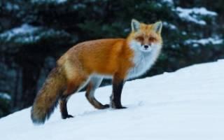Лиса меняет шубу зимой
