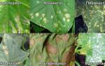 Пятна на листьях огурцов