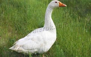 Порода легарт гусей