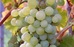 Краса севера виноград описание
