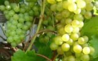 Кристалл сорт винограда