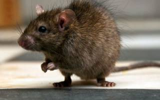 Продолжительность жизни крысы