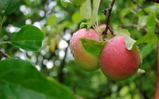 Яблочный жмых после соковыжималки