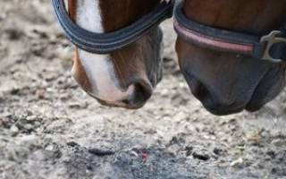 Сколько желудков у лошади
