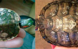 Красноухая черепаха панцирь отслаивается