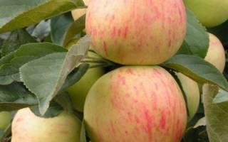 Юбиляр сорт яблок