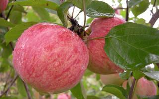 Коричневое полосатое яблоня