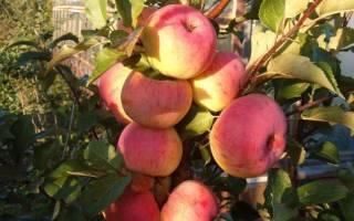 Яблоня услада описание сорта