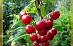 Сорта самоплодной вишни