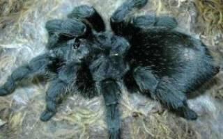 Сколько стоит тарантул в зоомагазине