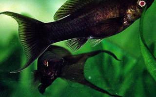 Черные рыбки аквариумные название