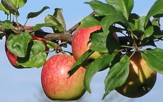 Яблоко слава победителям