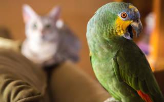 Как приучить кошку к попугаю