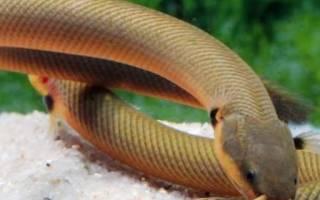 Аквариумная рыбка змея